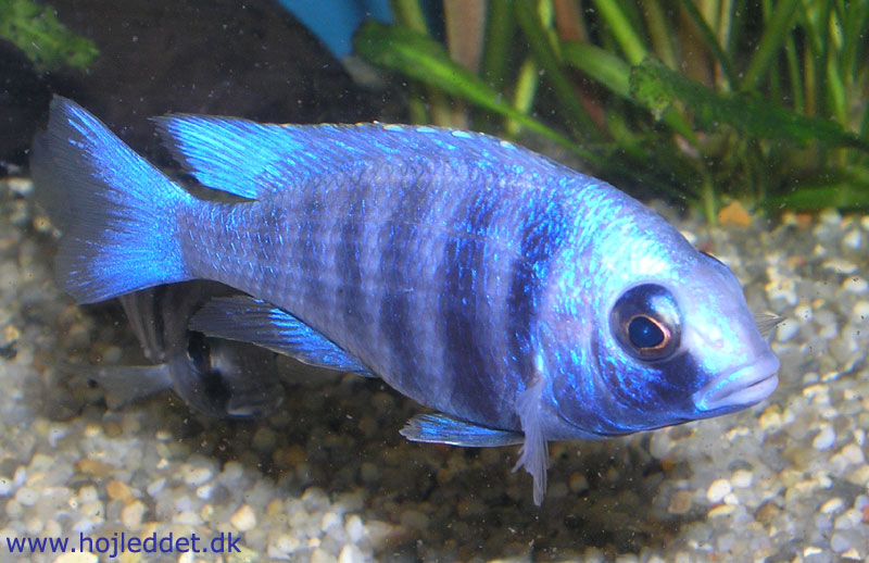 Mine Placidochromis sp.